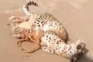 Watch: Leopard enters residential area in Gujarat, creates ruckus