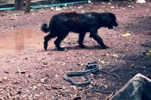 Pet dog helps rescuers catch a rat snake