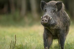 Forest officials seize 2kg wild boar meat