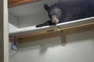 Bear breaks into a house, takes nap in a closet