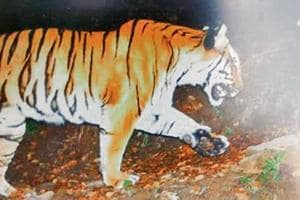 Tiger spotted in Kedarnath at 3,400m altitude