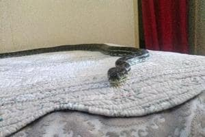 Python falls from ceiling, lands on bed- Pictures will make you go 'nope'
