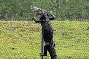 Alligator climbs over fence, shocking moment caught on camera