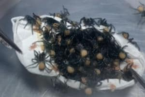 Dozens of spiders emerge from egg sac- Video not for the fainthearted
