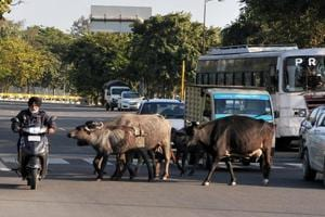 Biker rams into stray cattle on Airport Road, dies