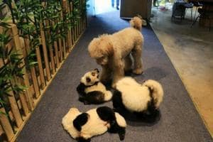 Cafe dyes dogs to look like pandas, goes viral- Not everyone's happy