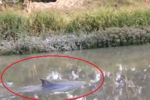 Dolphin spotted in West Bengal canal, dies due to polluted water