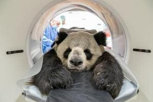 Giant Panda gets CT scan, pics intrigue people