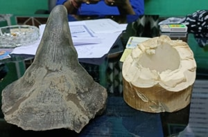 Rhino horn, ivory seized; three arrested from north Bengal