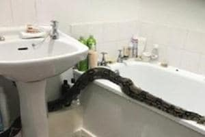 8-foot-long Boa Constrictor snake breaks into bathroom, causes 'hiss-teria'