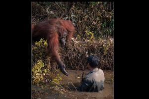 Need a hand? Orangutan's gesture towards man is winning hearts