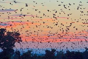 'Bat tornado' invades town, 'doomsday' screams Internet- Watch