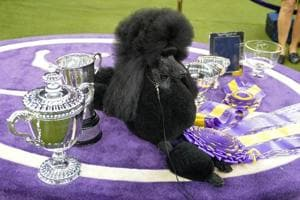Siba the poodle wins 'top dog' crown in NY dog show- See adorable pics