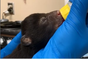 Bear 'foster mother' will raise a cub rescued by a pet dog