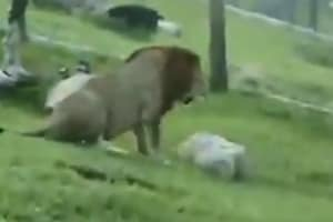 Rescued circus lion touches grass for first time ever, video will make you emotional