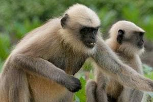 Prior to Donald Trump's Taj Mahal visit in Agra, 5 langurs deployed- Here's why