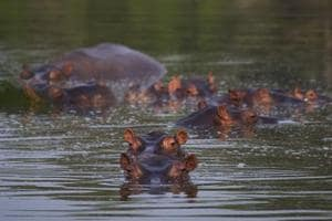 Colombians grapple with a big problem: Late drug baron Pablo Escobar's wandering hippos
