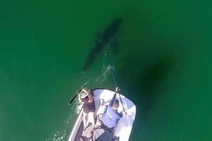 Great white sharks being researched along California coast using drones