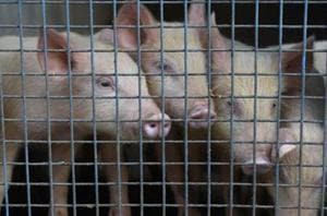 African swine fever hits Assam's piggery sector; government orders culling of pigs
