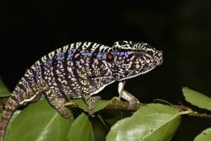 Scientists find Madagascar chameleon last seen 100 years ago