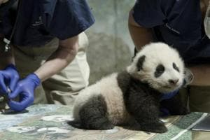 Smithsonian's National Zoo's  panda cub named Xiao Qi Ji or 'Little Miracle' after an online poll