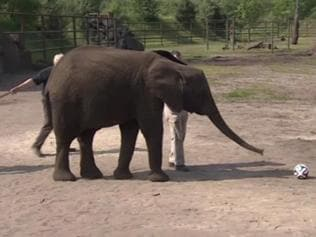 Elephant Nelly predicts football World Cup results!