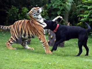 The Labrador who nursed a tiger cub to health at Indore zoo