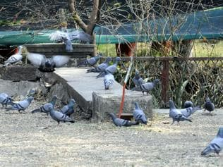 Pigeons rule skies in Indore as common birds continue to disappear