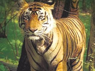 Tiger hit by train at Sehore, dies