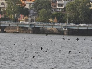 Bhopal: Bats belly-dip in Upper Lake to beat the heat and survive