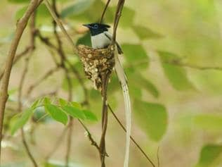 Vanishing bird calls: Kajligarh falls silent in Indore as fewer flycatchers come to nest in forest