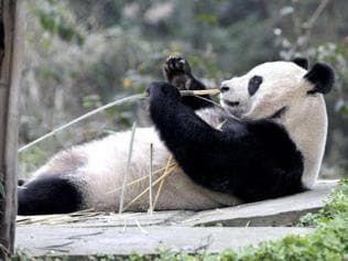 China: Wild pandas turn carnivorous, fight for meat