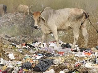 Economic factors, not beef ban, influence cow population
