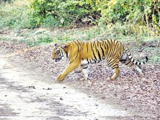 MP ranked 3rd in tiger deaths last year