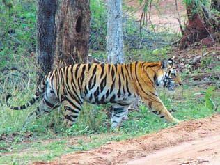 NTCA data puts tiger deaths at 69 last year, up from 2014