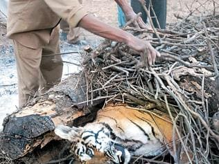 Carcass of tigress found hidden under stones in MP's Pench reserve