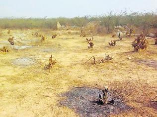 200 trees cut in Mangar grove