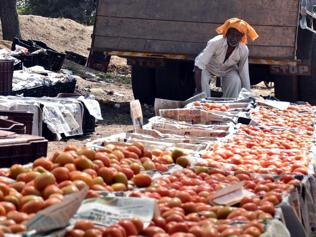 Pakistan's appetite for tomato boosts its cultivation in MP