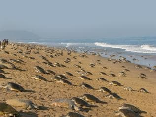 Meet the home-grown guardians of Odisha's Olive Ridley turtles