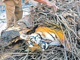 MP: Tigress, two cubs die in Pench reserve, poisoning suspected