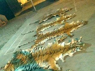 Tigress, 2 cubs die in MP's Pench reserve, poisoning suspected