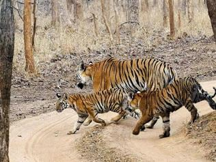 In MP's Pench reserve, one tiger killed every 10 days this year