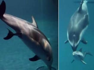 Watch | Heartwarming footage of a dolphin being born