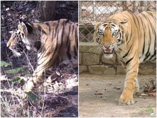 'Jailed' tiger brothers of Bandhavgarh reserve being separated, translocated