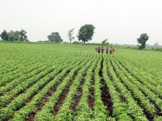 MP: Farmers at loss as rain hits soybean crop, re-sowing a must