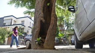 Dodder dread: Parasitic plant hollows out trees, but officials not alarmed