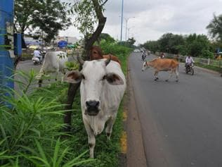 Soon, cosmetics and cures from a 472-hectare cow sanctuary in MP