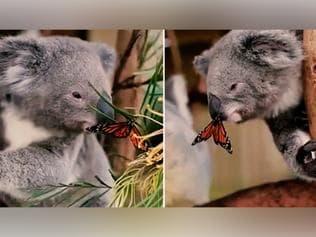 Watch | Butterfly photobombs baby koala