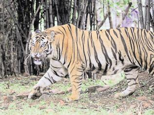 Six arrested for tiger poaching in Kanha reserve