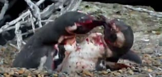 Watch   This penguin love triangle ends in a bloody brawl